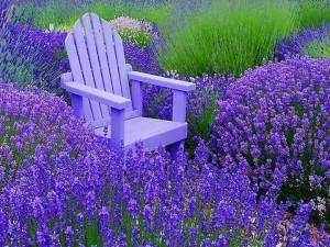 LAVENDER BRINGS PEACE AND HARMONY